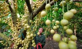 cai-mon-orchard-in-ben-tre-mekong-delta-vietnam