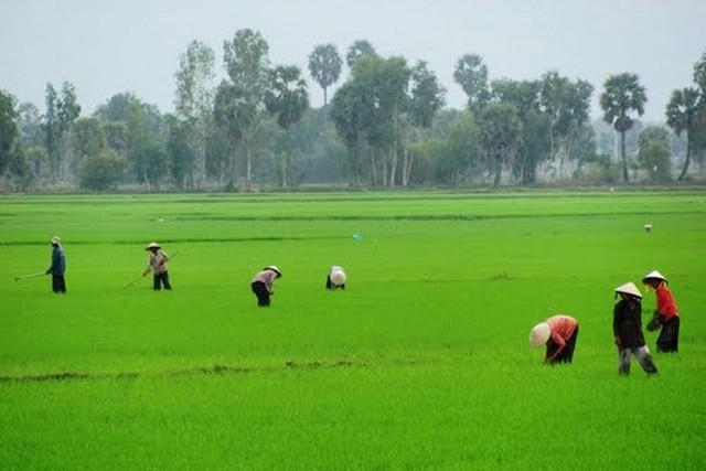 Mekong Delta rice field