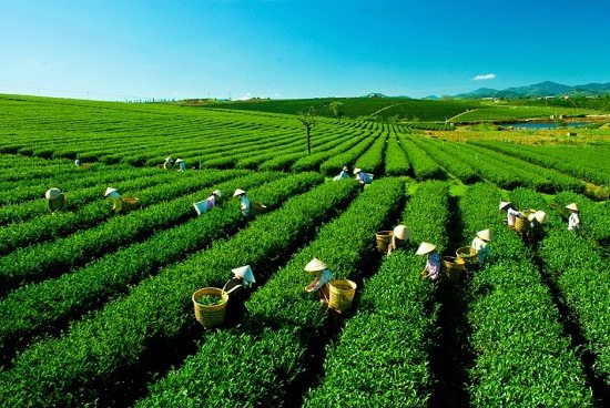 Tea Farms is one of the best places to visit in Moc Chau, Vietnam