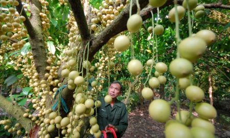 Cai Mon is one of the famous fruit orchards in Mekong Delta
