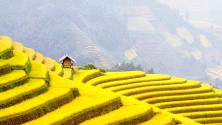 Discover the ripe terraced rice season in Northwest Vietnam