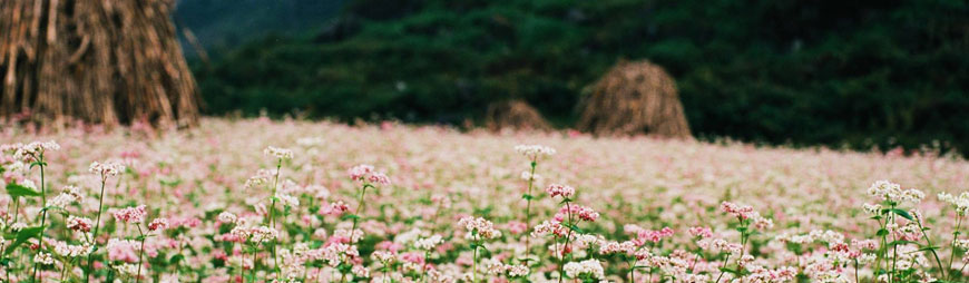 get-lost-in-top-6-striking-flower-fields-in-vietnam